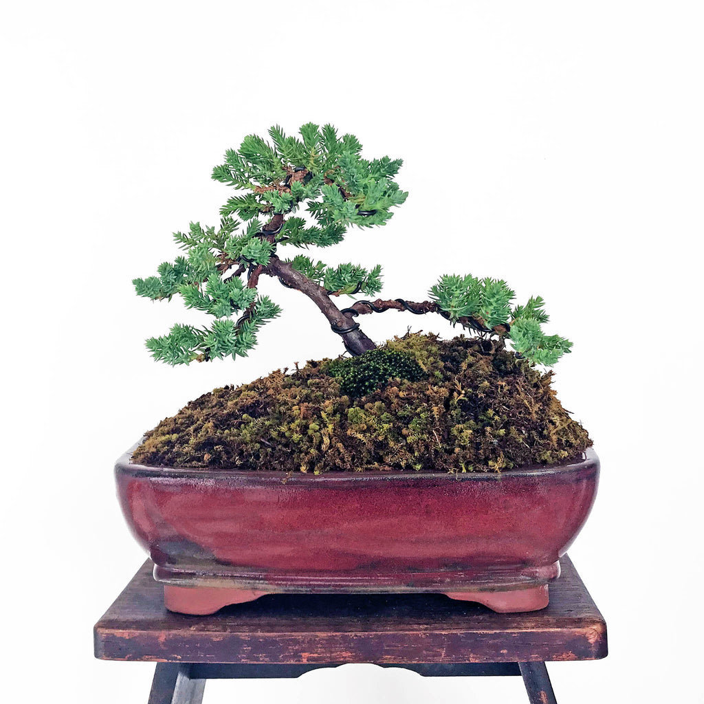 Japanese Juniper Bonsai
