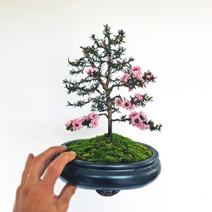 Pink Blossom NZ Manuka Bonsai