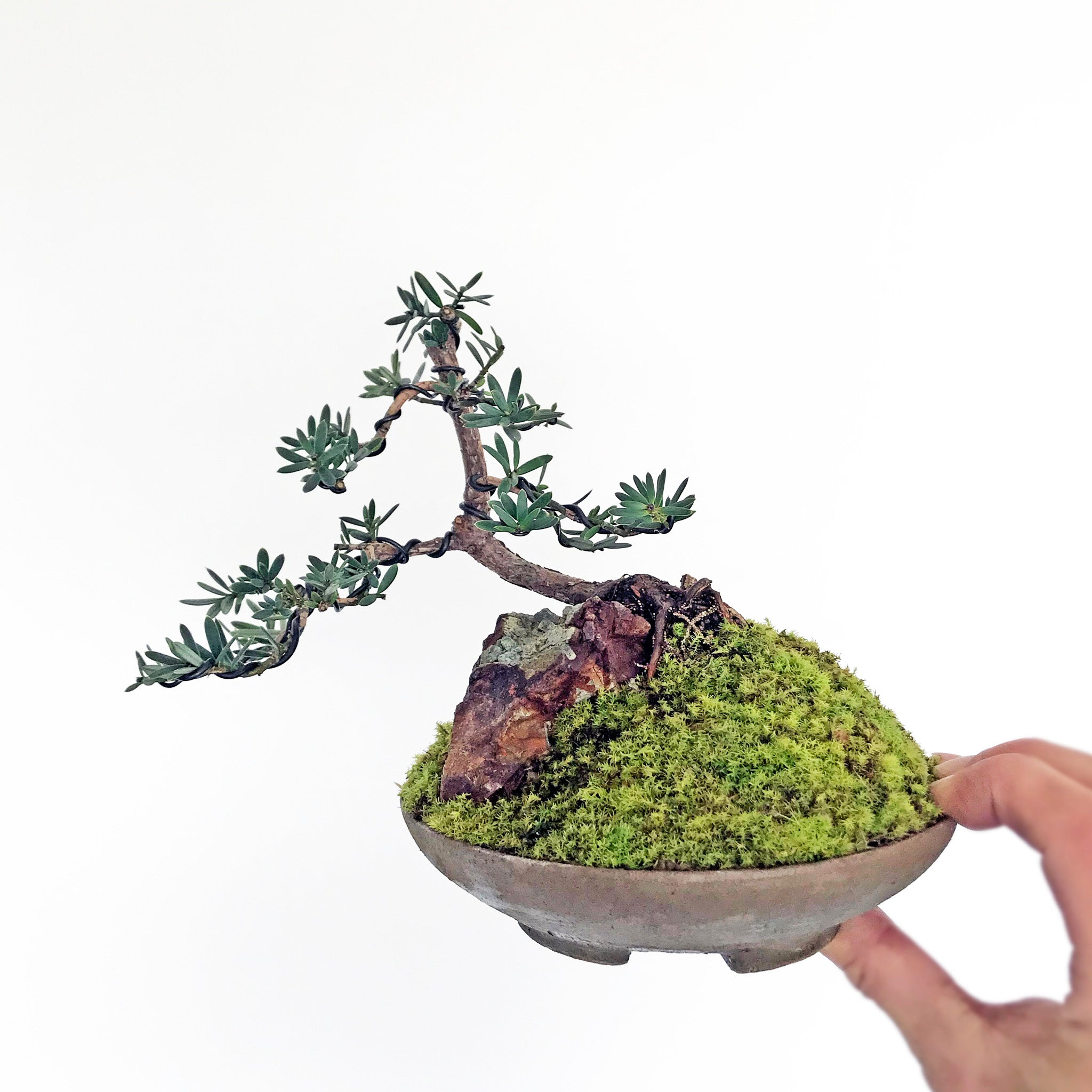 NZ Totara Bonsai