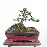 Japanese Yew Bonsai