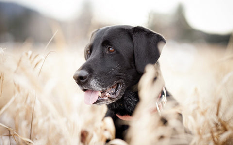 Black lab in a wheat field