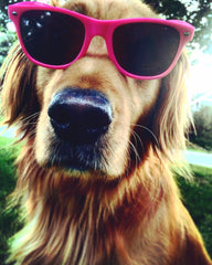 golden retriever wearing pink sunglasses for breast cancer awareness month
