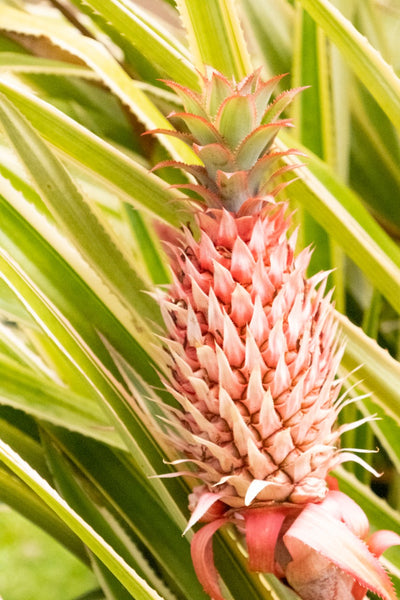 Pink Pineapple | Limited Edition