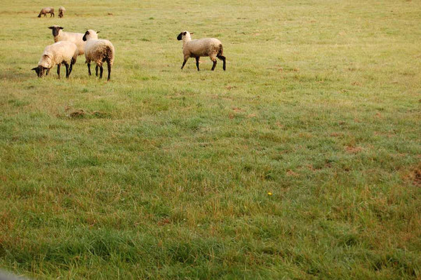 Sheep in the Meadow Photography Print