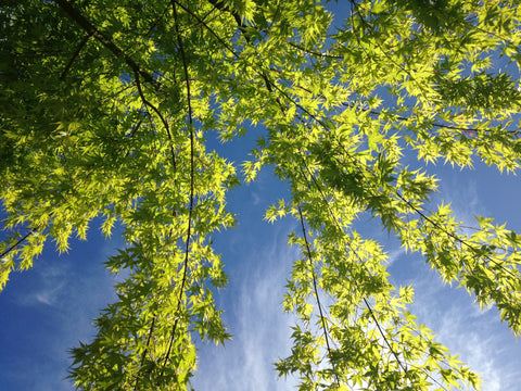 a lacy maple tree with early green leaves is viewed from below with blue sky behind