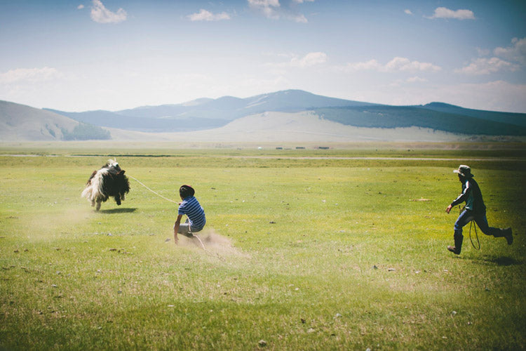 "Naadam ""yak jumping""— after a rider was thrown, the yak was expertly lassoed from behind. Berserk yak drags man down steppe without slowing."