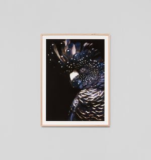 Midnight Cockatoo Framed Print