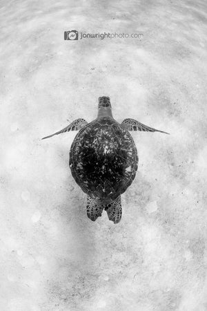 Black and White Turtle Photograph