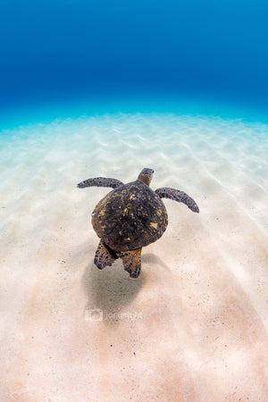Turtle Cruising - Waimea Bay, Oahu. Hawaii