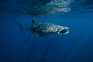 Whale Shark Print - Open Wide