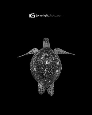 Turtle Black and White