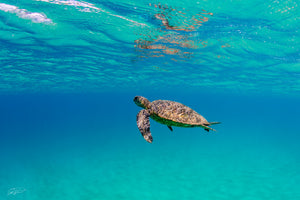 Turtle Rising - Waimea Bay, Oahu. Hawaii