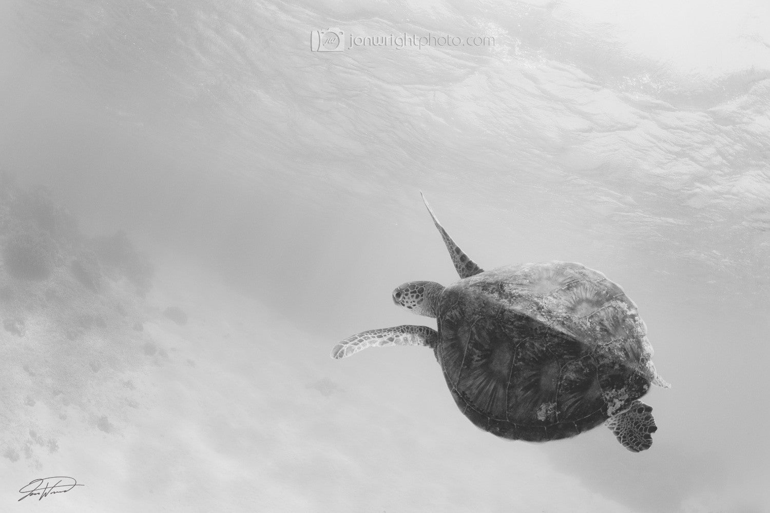 Green Turtle - Black and white