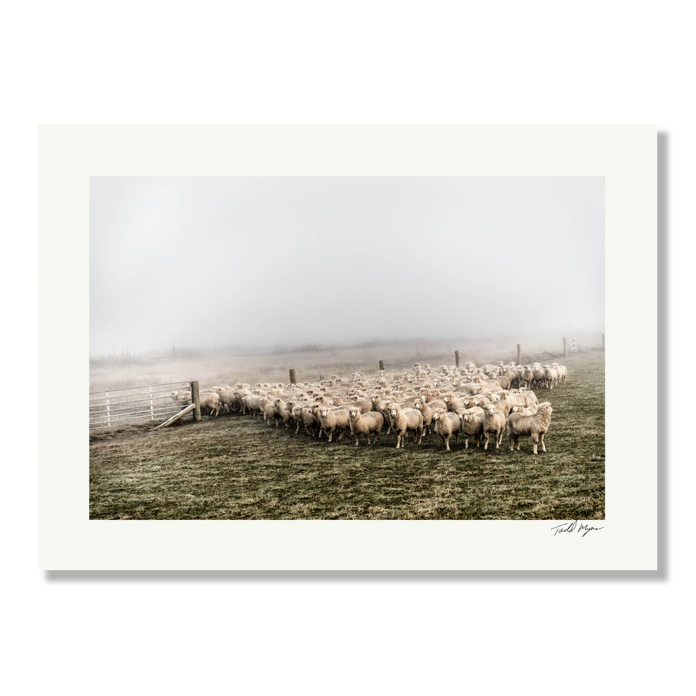 New Zealand Sheep - 2