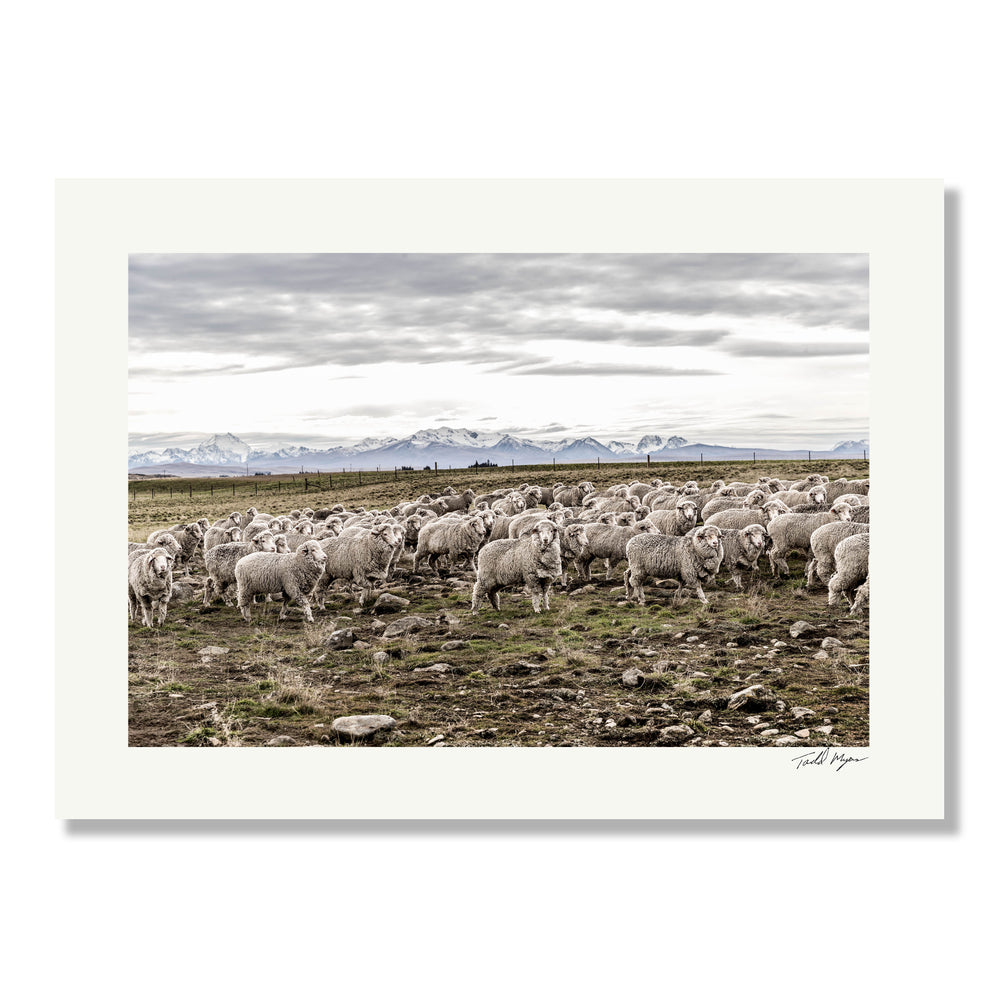 New Zealand Sheep Farm, Tadd Myers Photography