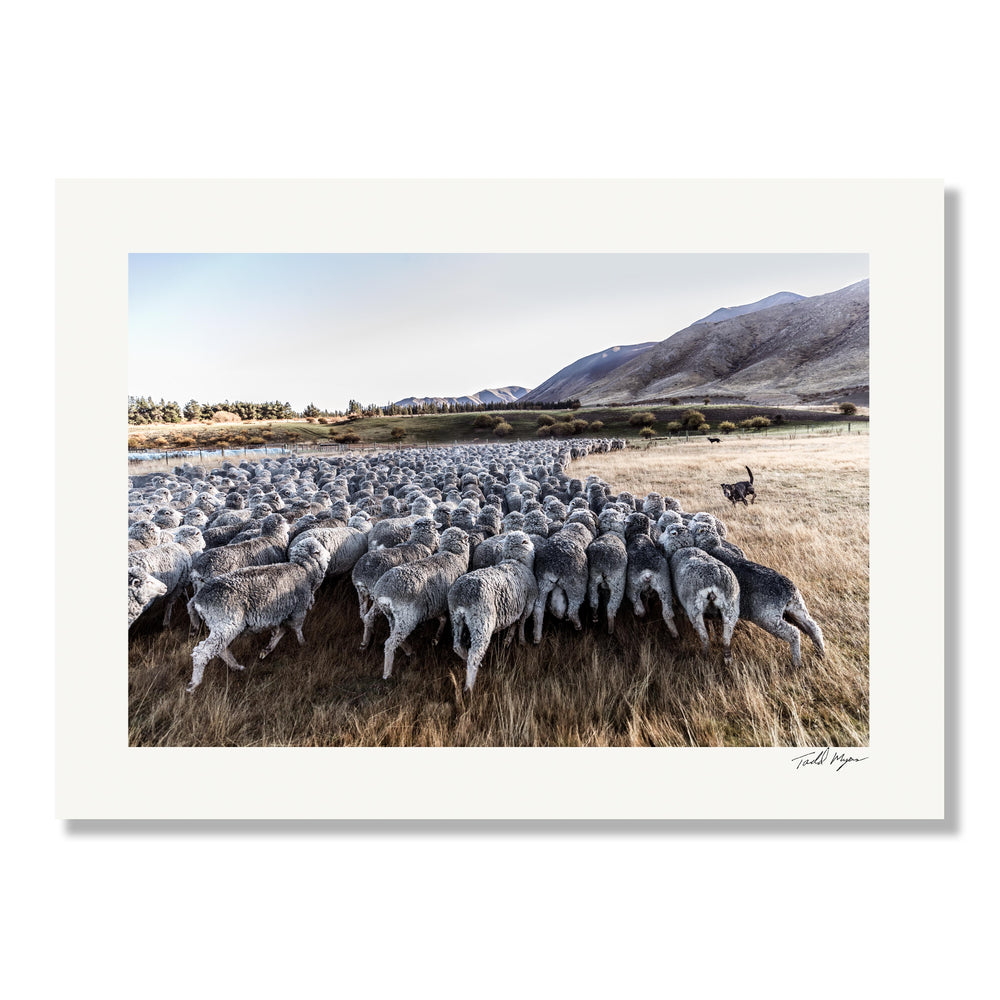 New Zealand Sheep Dogs - 12