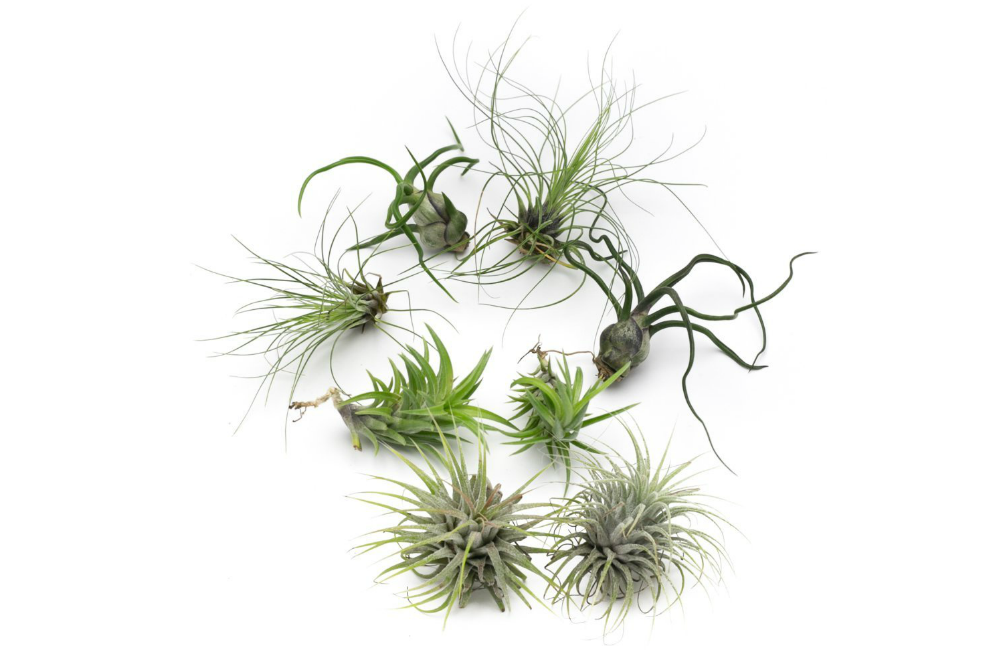 Bulbosa Live Air Plant Collection, Set of Eight + Free Organic Plant Food Pod