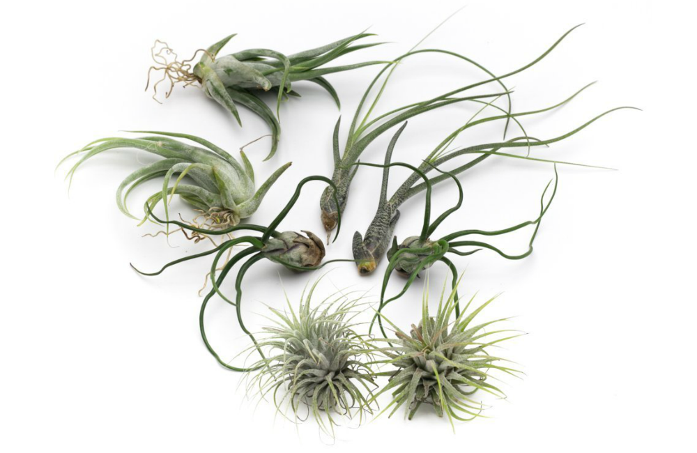 Butzii Live Air Plant Collection, Set of Eight + Free Organic Plant Food Pod