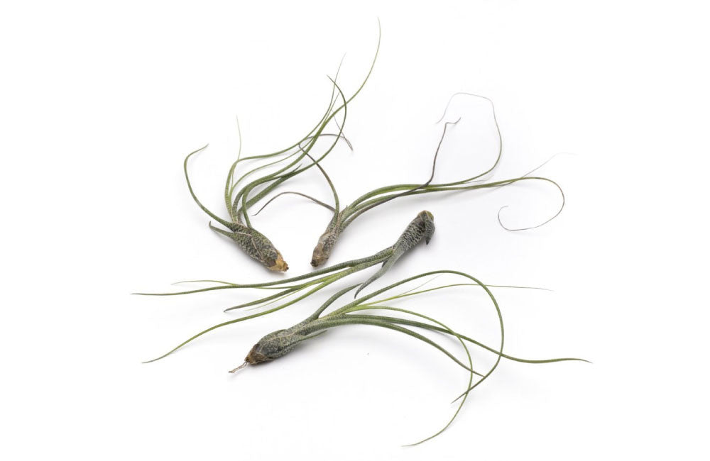 Butzii Premium Live Air Plants, Set of Four + Free Organic Plant Food Pod