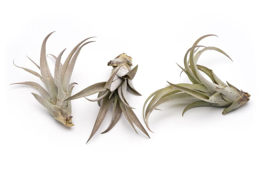 Capitata Peach Premium Live Air Plants, Set of Three + Free Organic Plant Food Pod