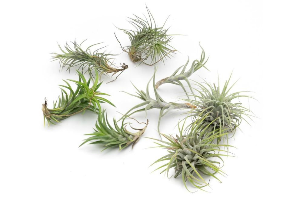Funkiana Live Air Plant Collection, Set of Eight + Free Organic Plant Food Pod