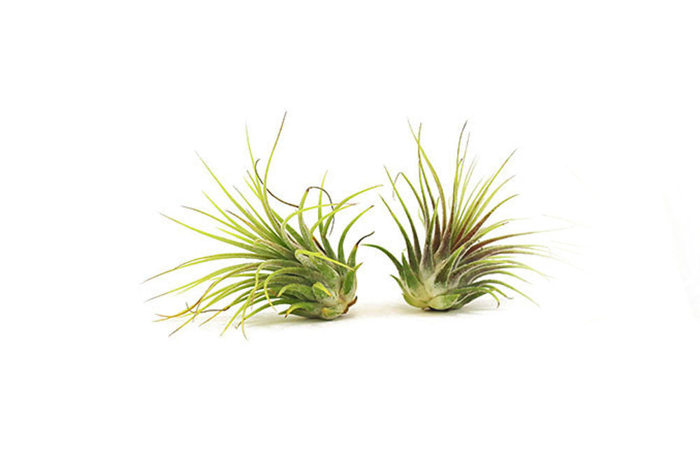 Guatemala Air Plant, SET of TWO  (Voucher Code redeemable at check-out - One code per order)