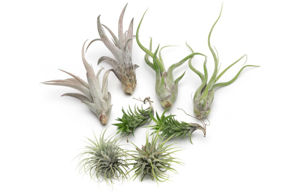 Medusae Live Air Plant Collection, Set of Eight + Free Organic Plant Food Pod