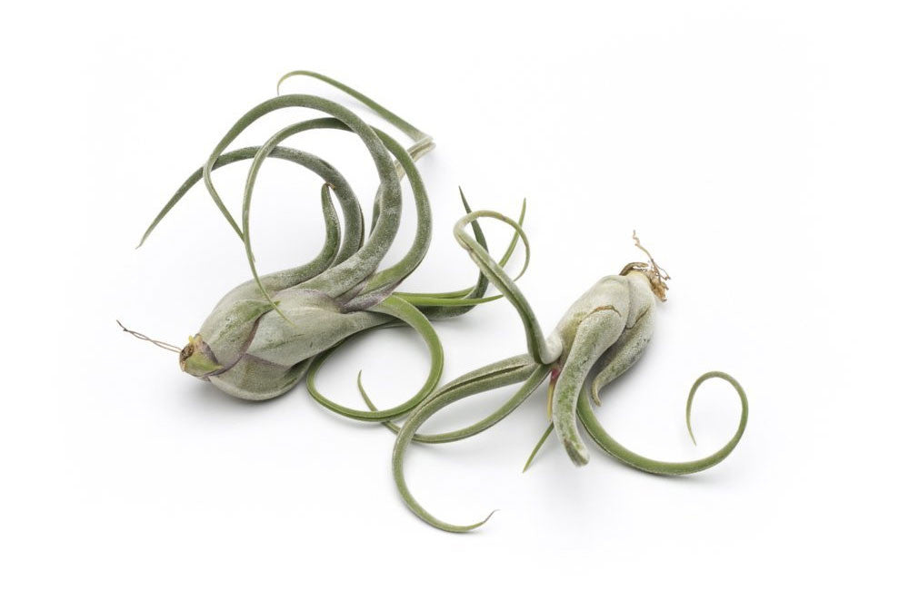 Medusae Premium Live Air Plants, Set of Two + Free Organic Plant Food Pod