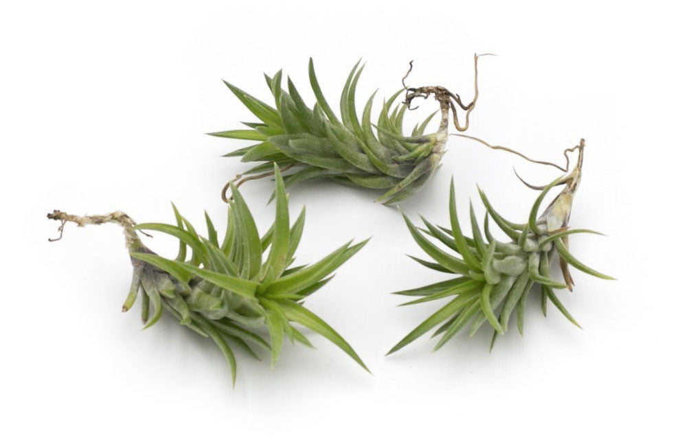 Neglecta Premium Live Air Plants, Set of Three + Free Organic Plant Food Pod