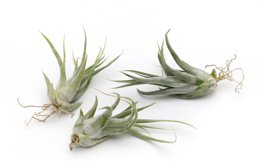Paucifolia Premium Live Air Plants, Set of Three + Free Organic Plant Food Pod