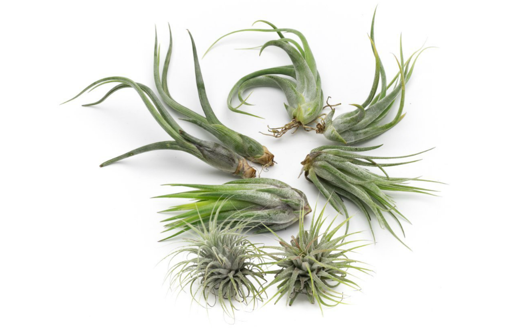 Paucifolia Live Air Plant Collection, Set of Eight + Free Organic Plant Food Pod