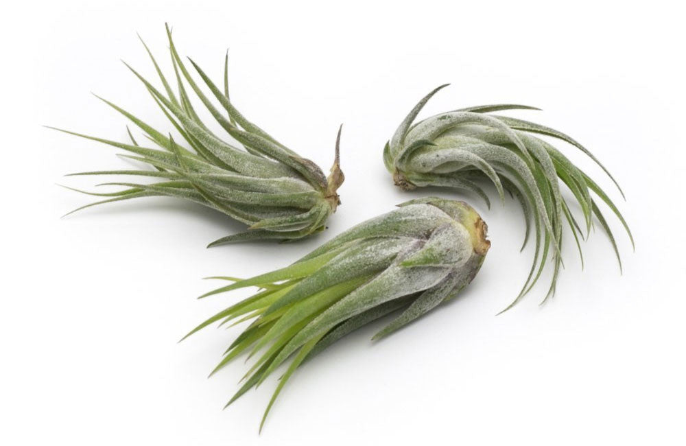 Scaposa Premium Live Air Plants, Set of Three + Free Organic Plant Food Pod