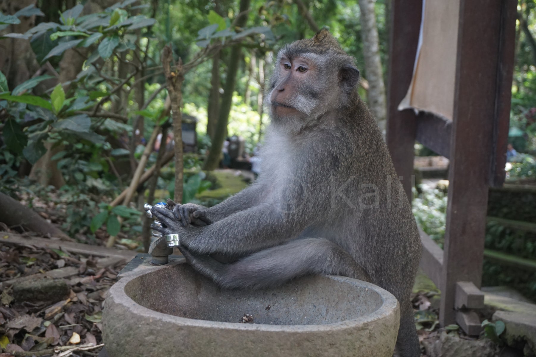 A monkey in the monkey forest - Ubud, Bali, Indonesia