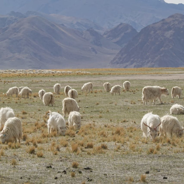 Cashmere goats grazing in the grasslands
