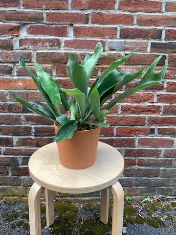 Staghorn Fern- 6
