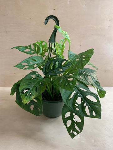 Philodendron Swiss Cheese Hanging Basket- 8