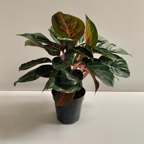Aglaonema Red Emerald PICK UP ONLY