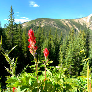 Colorado Wildflowers at Devil's Thumb Lake - Indian Paintbrush