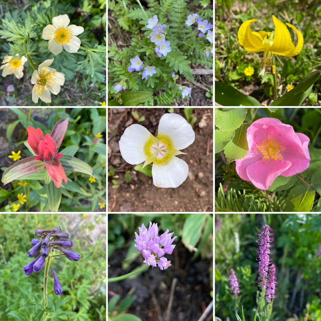 Colorado Wildflowers sighted at Devil's Thumb Lake
