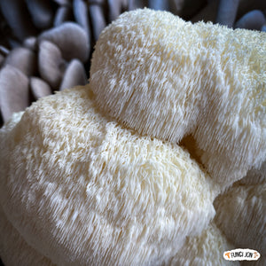 Lions Mane Grow-It-Yourself Kit