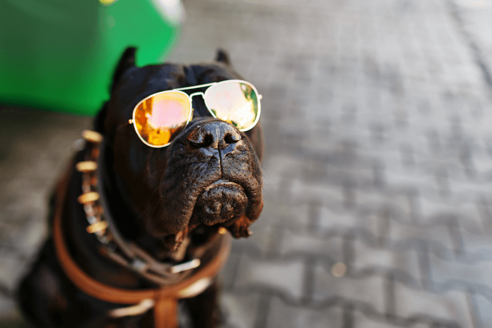 Even dogs in older times have worn spiked collars