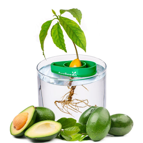 Avocado Tree Growing Kit - oddgifts.com