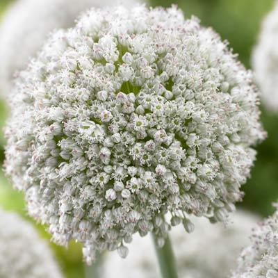 Allium White Cloud - in 5 litre pots