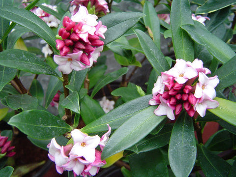 Winter Daphne plants. Lily-like scented plants. 5 Litre large plants