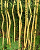 Green Grove Bamboos Plants for hedging & screening