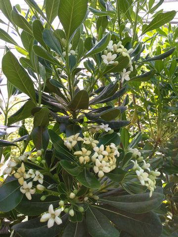 Japanese Pittosporum tobira Large Evergreen Mock Orange Shrubs 15 Litre Large pots 5-6ft