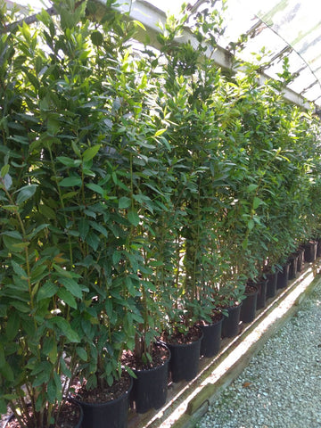 Hedging Bay Plants 4-5ft tall plants in 10 Litre pots, 6+ft this summer!