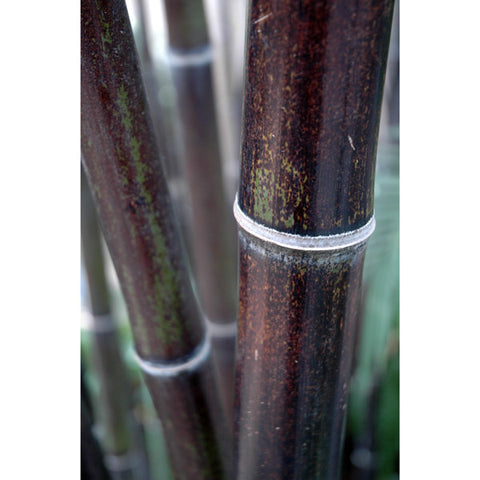 Black stemmed Bamboo Plants.