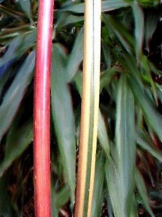 Red Stem Narihira Clumping Bamboo Kimmei 15 Litre Large pots 6-7ft tall plants for screening
