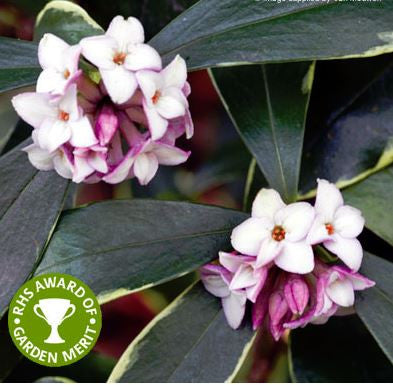 Daphne odora Aureomarginata. Highly Scented. Flowering Christmas Gift plant. Large 5 Litre size plants. In flower bud now!
